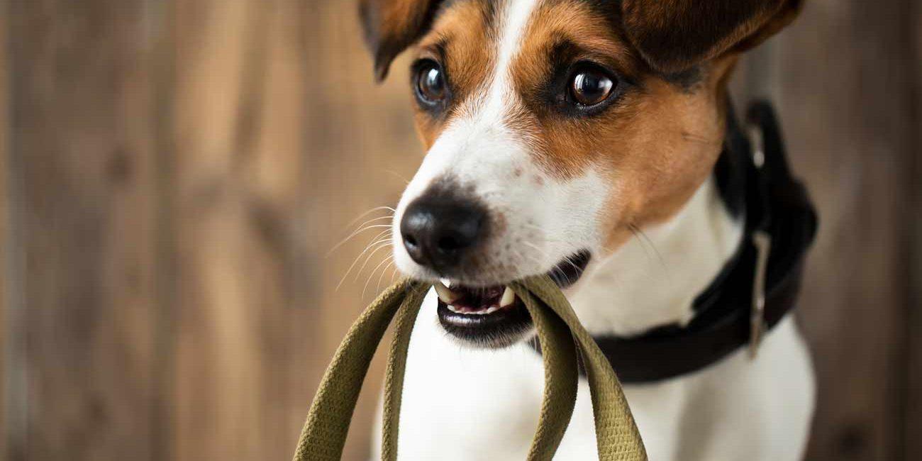 apprendre a son chien de ne pas tirer en laisse